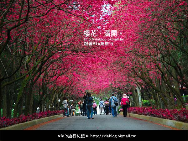 【九族櫻花季】櫻花滿開!最浪漫的九族文化村櫻花季34