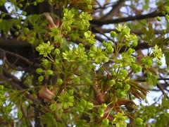 Spitz-Ahorn (Acer platanoides) (blumenbiene) Tags: flowers flower norway spring maple acer blüte platanoides frühling blüten ahorn spitzahorn spitzblättriger