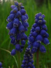 Blue Bells (~UnfadingRose~) Tags: blue macro green focus pretty afternoon purple bokeh