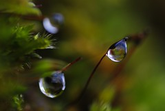 Water Droplet 1 (On the mountain at dawn) Tags: mountain plant macro reflection water rain wall dawn leaf moss nikon distorted dew tiny droplet d3000
