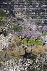 Ametlers ( alfanhuí) Tags: trees white snow blanco landscape petals árboles nieve nevada arbres snowfall sella neu almendros almondtree pétalos ametlers