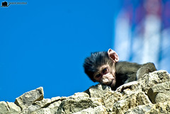 eat it son .. eat it (tawFiQ Dif) Tags: animal stone monkey nikon funny eat   tawfiq