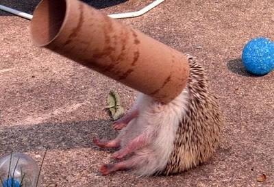 Funny hedgehog2