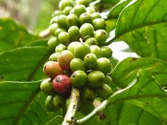 coffee fruit (qonita) Tags: indonesia garut tasik tasikmalaya kampungnaga