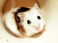 Tutku (pron. TOOT-KOO:) (pyza*) Tags: pet girl animal rodent dwarf critter small mini shy tiny hamster mottled hammie tutku chomik tootkoo