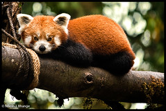 Red Panda (bnilesh) Tags: india redpanda