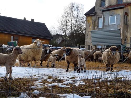 Lambs and Mamas