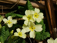 WildPrimrose (Shastajak) Tags: macro yellow spring pentax wildflower x70 primrose signofspring wildprimrose