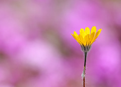 Desert Sunflower (Geraea canescens) (steveberardi) Tags: california flower yellow sand purple desert sunflower sonoran wildflower verbena villosa abronia geraea canescens sbfavorites photocontesttnc11