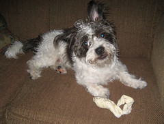 Yo (JoMo (peaceofpi)) Tags: blackandwhite dog boston puppy cross terrier bone finn mixedbreed scruffy johnnyquest