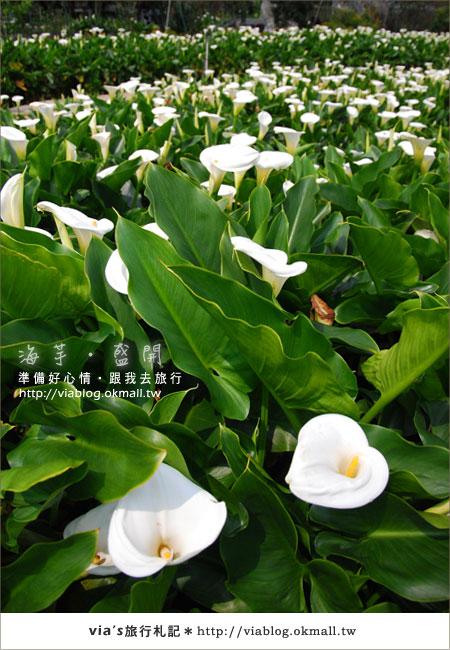【2010竹子湖海芋季】陽明山竹子湖海芋季~海芋盛開囉!6