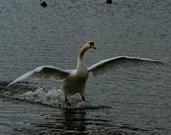 (Chris McLoughlin) Tags: england macro bird nature closeup swan day wildlife sony yorkshire landing tamron westyorkshire a300 fairburnings 70mm300mm sonya300 tamron70mm300mm sonyalpha300 alpha300 chrismcloughlin