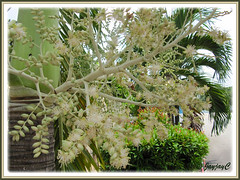 Inflorescences of Veitchia merrillii (Manila/Christmas Palm), growing by the roadside