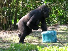 IMG_3126-WDW-DAK-baby-gorilla