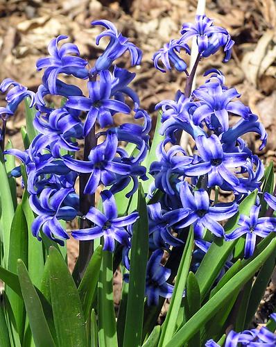 Blue Jacket Hyacinths