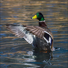 ~ Canard ~ (ViaMoi) Tags: canada reflection bird water speed photography photo duck wings action ottawa feathers freeze splash waterfowl flap avian thisbig viamoi