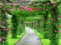 In Search of Roses (Sandra Leidholdt) Tags: uk greatbritain flowers roses england kewgardens kew garden unitedkingdom britain explore british rosas rosegarden pathway royalbotanicgardens passageway explored gardenpaths sandraleidholdt gardenwalks leidholdt
