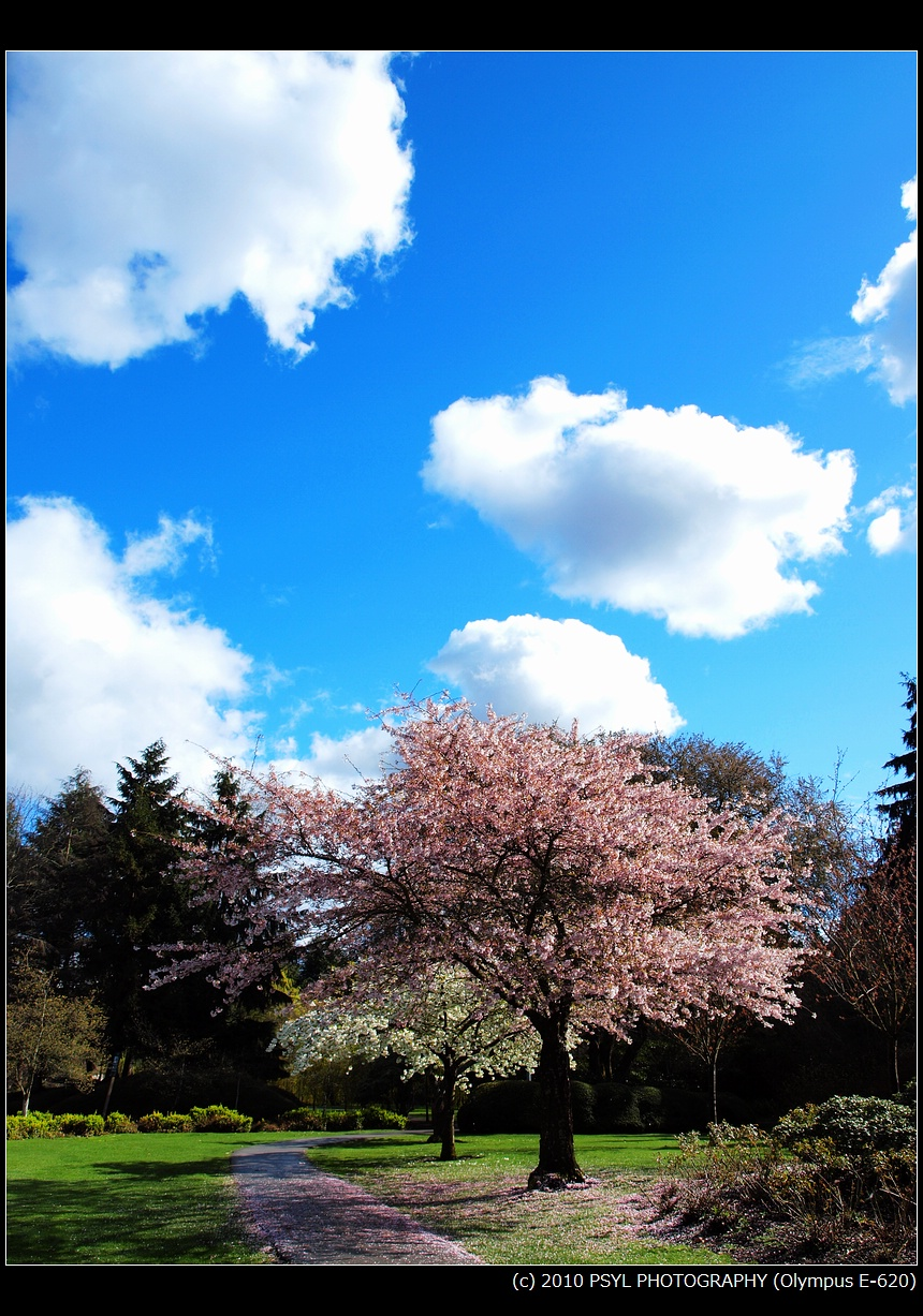 Pink Blossoms and Blue Sky