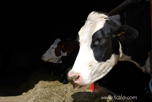 Vaca Italiana