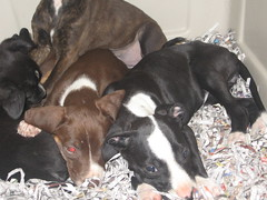 shelter pups! (henna lion) Tags: old rescue dog baby brown white black girl lady female spring mutt mix puppies manhattan ks young vizsla kansas shelter weeks adopt eight adoption 2010 manhattankansas eightweeks