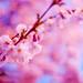 #91 - Plum blossoms