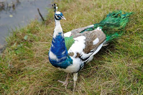 フリー画像| 動物写真| 鳥類| 孔雀/クジャク|        フリー素材|