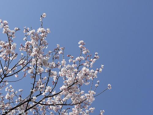 2010年3月30日の桜