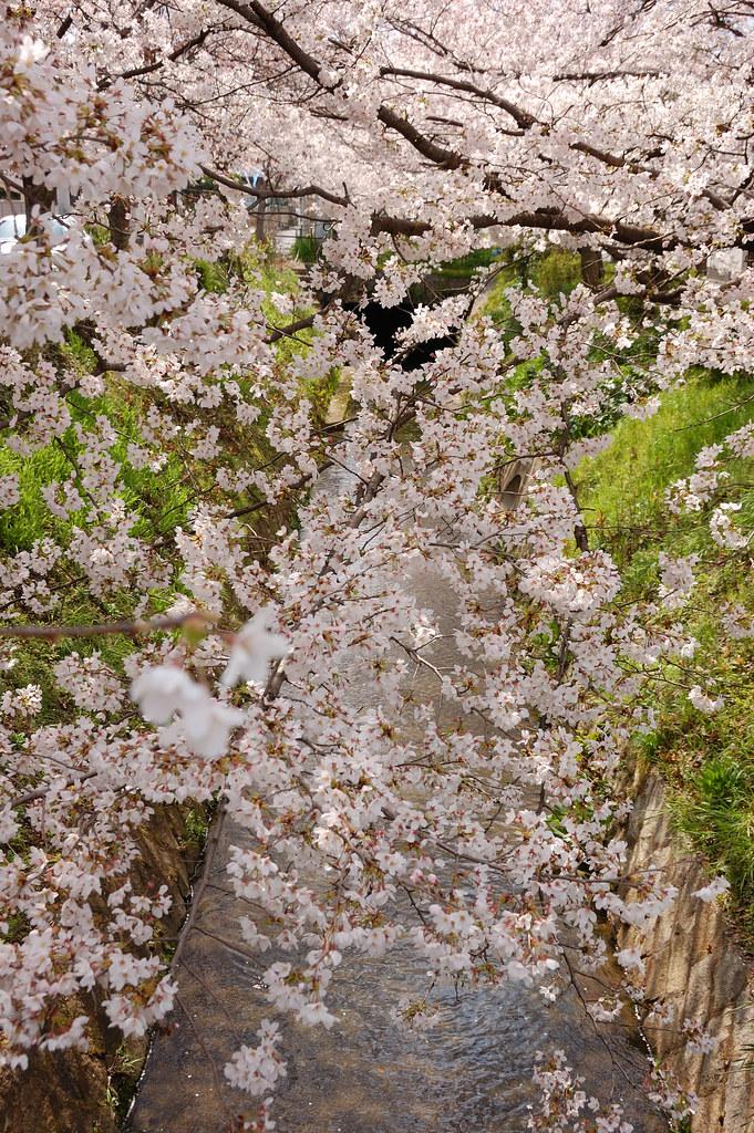 Sakura 2010 #11