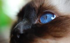 Chat yeux bleu birman
