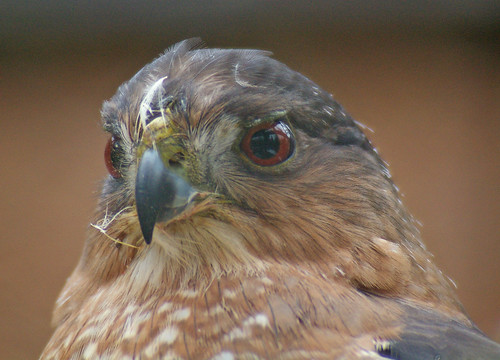 Portrait of a Cooper's Hawk