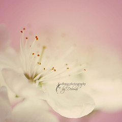 A beautiful thing is never perfect (proverb) (dhmig) Tags: pink flowers flower macro nature nikon blossom bokeh nikond50 dreamy plumblossom softcolours platinumheartaward dhmig dhmigphotography