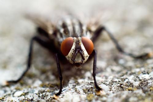 [フリー画像] 動物, 昆虫, 蝿・ハエ, 201004040500