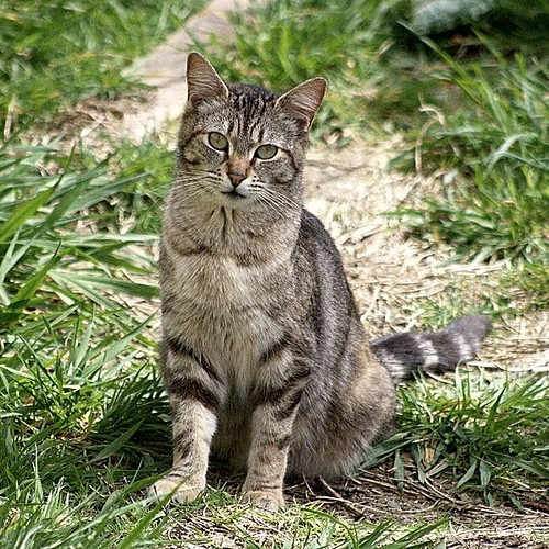 The Unknown Tabby Cat