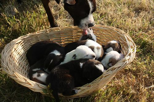 basket o' puppies