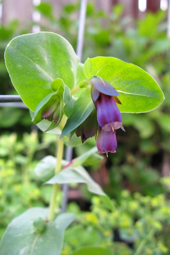 Volunteer Cerinthe 'Purple Bells'