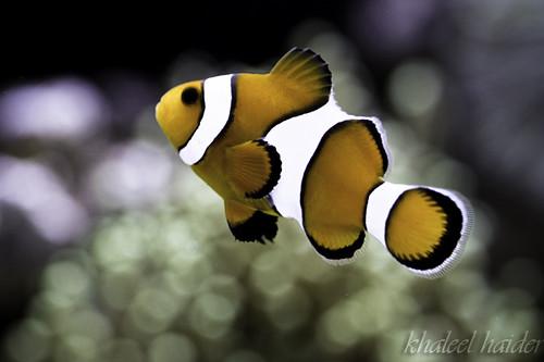 Clown Fish by khaleel haidar, on Flickr