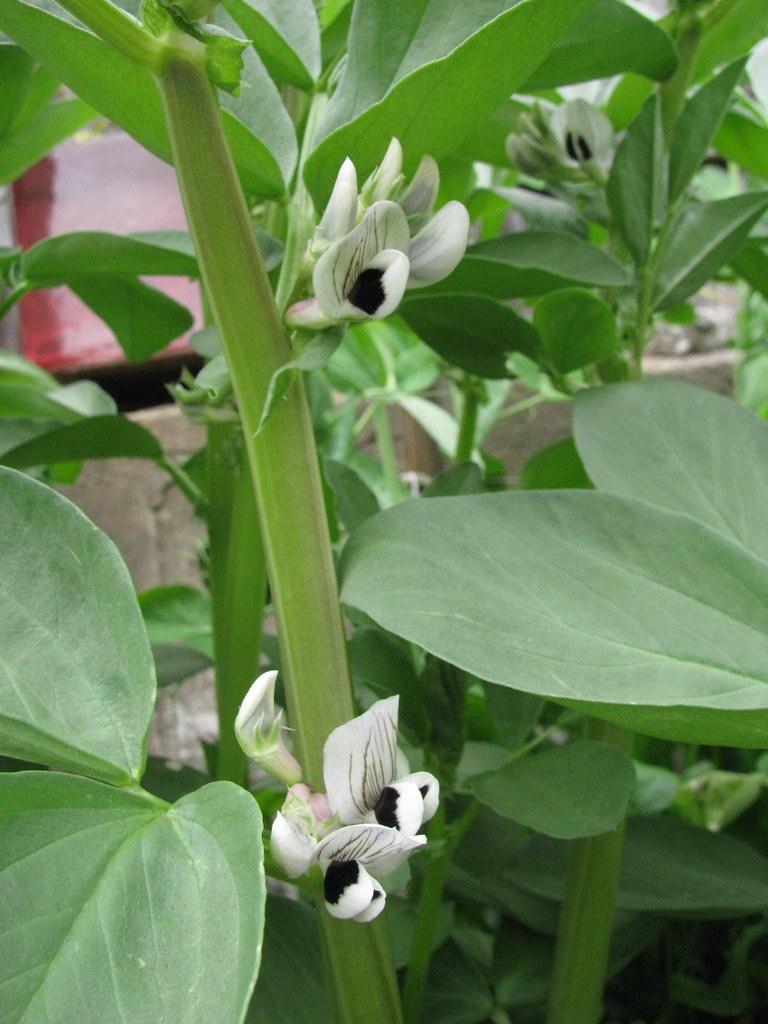 Fava Bean flowers