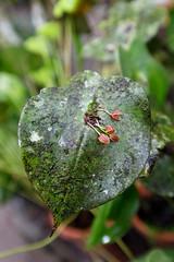 baudchon-baluchon-mindo-orchidees-15