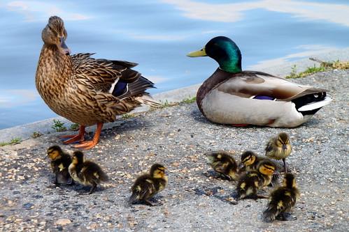 フリー写真素材, 動物, 鳥類, カモ科, 家族・親子, マガモ, 雛・ヒナ,