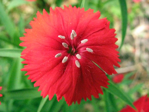 Red Dianthus...