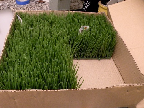 Wheatgrass numbered containers