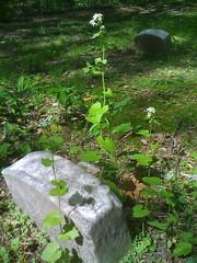 garlic mustard weeds at Quaker cemeter