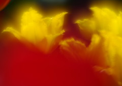Tulip (h orihashi) Tags: flower macro japan pentax  softfocus  musictomyeyes k7 blueribbonwinner coth cherryontop supershot naturesgarden flickrsbest bej  royalgroup diamondheart anawesomeshot colorphotoaward impressedbeauty flickrhearts flickraward crystalaward infinestyle diamondclassphotographer flickrdiamond citrit heartawards theunforgettablepictures diamondstars colourartaward justpentax everydayissunday flickrestrellas peaceawards thirdlife rubyphotographer damniwishidtakenthat thebestgallery colorphotoawardpremier dragondaggeraward pentaxart pentaxk7 mamasbloomers