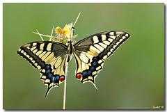 "Swallowtail -  Papilio  machaon #4 (Lior Dar) Tags: flower macro yellow butterfly israel aperture nikon branch dof bokeh flash jerusalem depthoffield getty blueribbonwinner coth polestar greatphotographers macroextreme macrolicious topshots beautifulphoto physis abigfave ourplanet ultimateshot flickraward macrophotosnolimits magicofaworldinmacro theunforgettablepictures buzznbugz macrolife theperfectphotographer ahqmacro multimegashot macrosdenaturaleza abovealltherest ""nikonflickraward"" grouptripod colorsofthesoul nikonsb900 thebestmacrophotos artofimages primemacro fabbow oneofmypics ""flickraward"" ""nikonflickrawardgold"" platinumbestshot platinumpeaceaward flickrunitedaward thebestofcengizsqueezeme2groups bestofisraelproject2009 swallowtailpapiliomachaon mygearandme nikonmicro200f4"