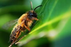 Biene (fotobonk) Tags: orange macro nature animal animals insect tiere spring nikon bokeh natur bee gelb nah pollen grn makro blatt insekt fell schwarz bonk tier biene nahlinse frhling fhler d5000 fotobonk photobonk