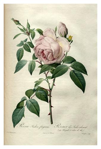 007-Les roses 1817-1824- Pierre-Joseph Redouté