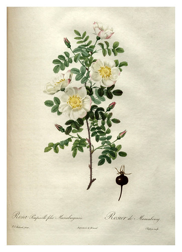 012-Les roses 1817-1824- Pierre-Joseph Redouté