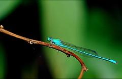 Blue Riverdamsel