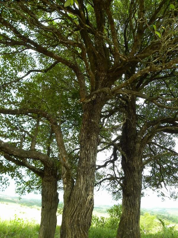 當地人稱之為達摩樹,是一種生命力極強的植物。