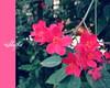 ({S H O S H O ♥ ~) Tags: pink flowers 2010 ورود shosho shatha فوشي
